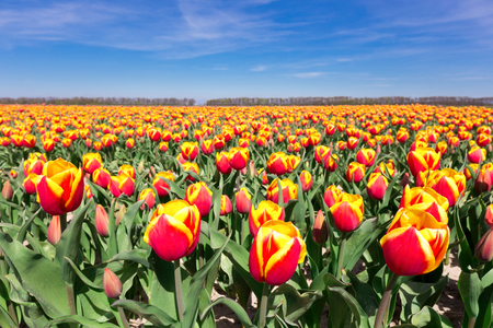 dichromatic: Tulip field with red yellow flowers and blue sky in the netherlands Stock Photo