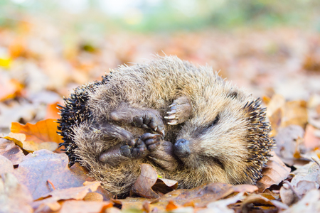 curled up: Curled up hedgehog lying and sleeping on autumn leaves