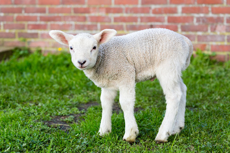 lambing: One white newborn lamb standing in green meadow