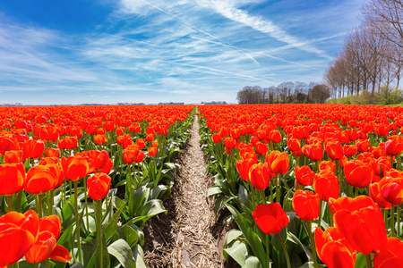 horticulturist: Field of red tulips flowers in the Netherlands
