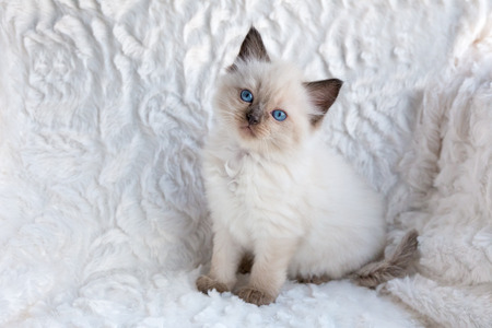 true bred: young seal color point ragdoll cat sitting on fur