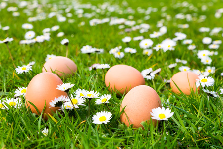 Chicken eggs in green meadow with blooming daisies in spring time