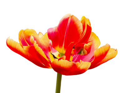 hellish: One red with yellow tulip flower isolated on white background