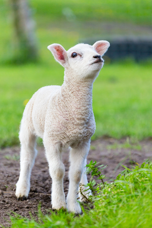 One white newborn lamb standing in green grass during spring season 写真素材