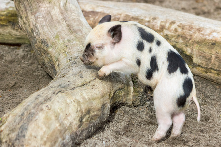 pigling: Young black spotted piglet at tree trunk outdoors