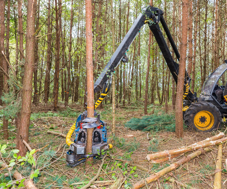 Machine sawing pine trees in forest