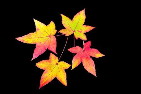 discolored: Four colored fall  leaves isolated on black background Stock Photo