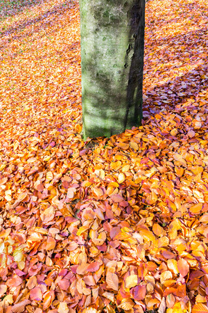 beech tree: Ground around beech tree trunk covered with brown beech leaves Stock Photo
