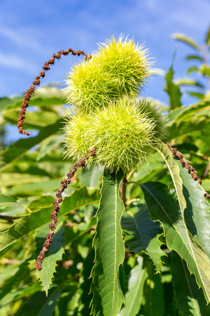 castanea sativa: Green husks and leaves of castanea sativa tree in autumn Stock Photo
