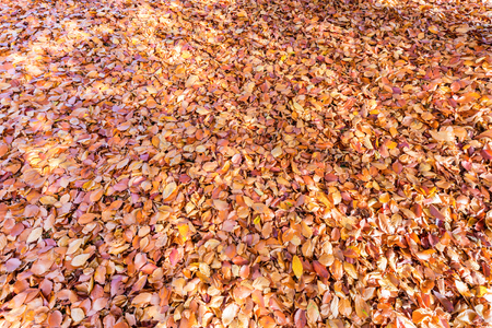 beech tree: Ground covered with brown beech tree leaves in fall