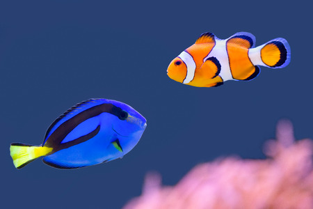 Palette surgeonfish and clownfish swimming together Foto de archivo
