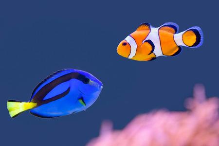 Palet surgeonfish en clownfish zwemmen samen
