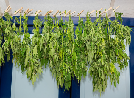Washing line with drying weed plants at attic