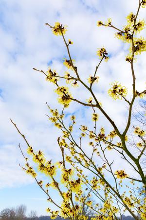 mollis: Blooming hamamelis mollis with yellow flowers in winter season Stock Photo