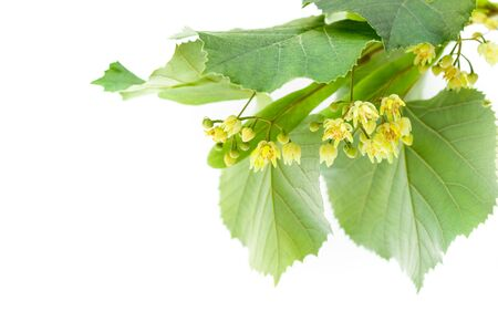 linden blossom: Blossoming twig of limetree or linden tree isolated on white background