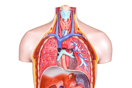 Inside Artificial Model Human Body With Lungs And Throat On White ...