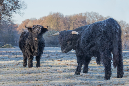 Two black scottish highlanders in frozen pasture Stock Photo