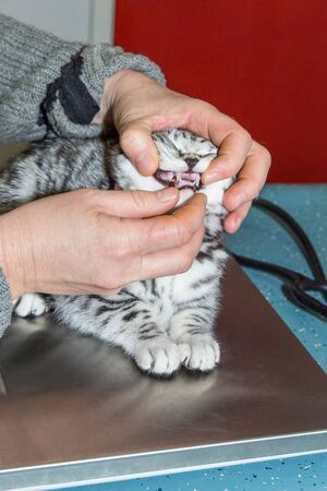 Veterinarian checks  teeth in mouth of young cat Stock Photo