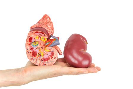 Mano plana mostrando modelo de riñón humano aislado sobre fondo blanco.