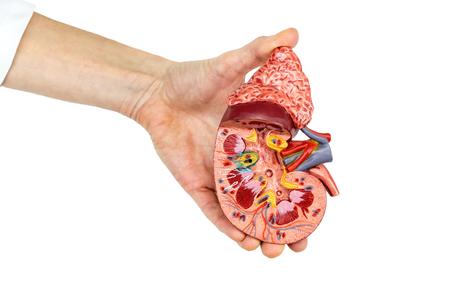 donacion de organos: Mano femenina mantiene modelo abierto de riñón humano aislado sobre fondo blanco