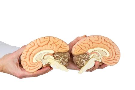 Hands holding models human brain hemispheres isolated on white background Stock Photo