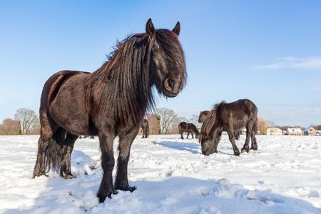 friso: Several black frisian horses in winter snow on sunny day Foto de archivo