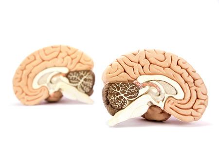 Two human brain hemispheres models isolated on white background
