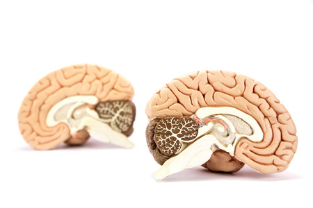Two human brain hemispheres models isolated on white background