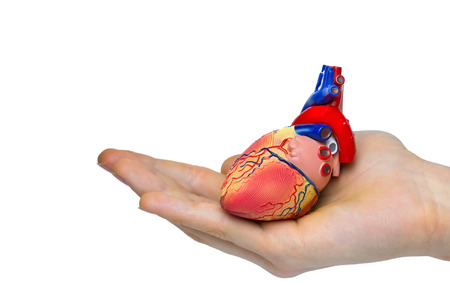 to pulsate: Artificial human heart model on hand  isolated on white background