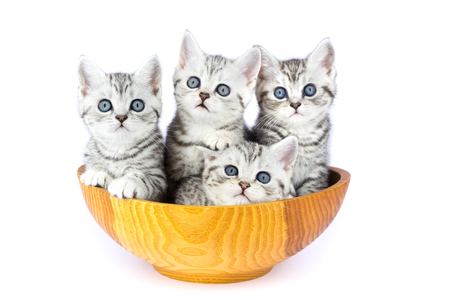 Four young kittens sitting in wooden bowl isolated on white background