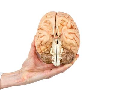 Female hand holding model human brains hemispheres isolated on white background Stock Photo