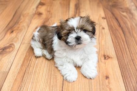 Young Chi Chu puppy lying on parquet flooring Фото со стока