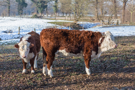 Two Hereford calfs in winter meadow with snow