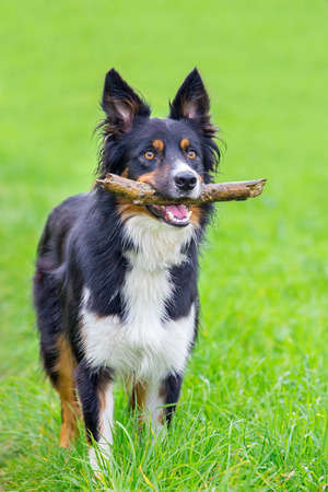 Standing border collie in grass with stick in mouth Stock Photo