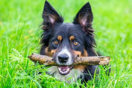Head border collie in grass with stick in mouth