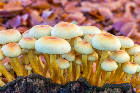 Yellow mushrooms on tree stump with leaves Stock Photo
