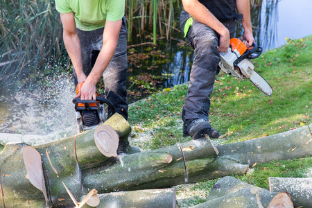 Two gardeners sawing beech tree trunk with motor saw