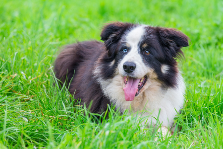 Odd-eyed border collie lying in green grass Stock Photo