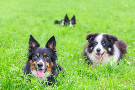 Three border collies lying in green grass Stock Photo