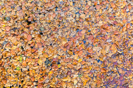 Many beech leaves floating on water in autumn season