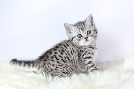 young black silver tabby cat sitting on sheepskin stock photo