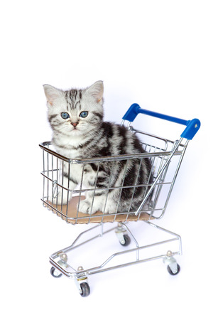 Young black silver tabby blotched cat sitting in shopping cart on white background
