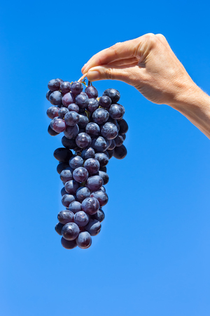 Hand holding hanging bunch of blue grapes in sky