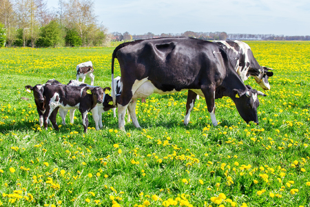 Mother cows with newborn calves in green spring grass with yellow dandelions
