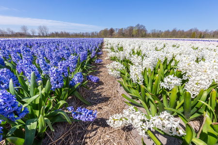 Landscape with rows of flourishing hyacinth flowers in the Netherlands