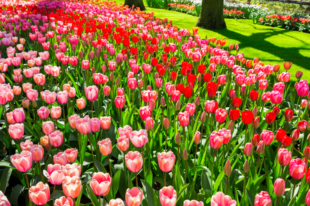 Flower field with red and pink tulips in park Keukenhof Holland Stock Photo