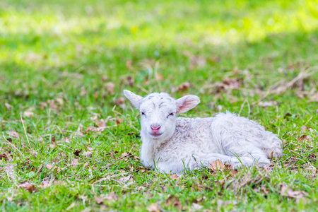 One newborn white lamb lies in green meadow