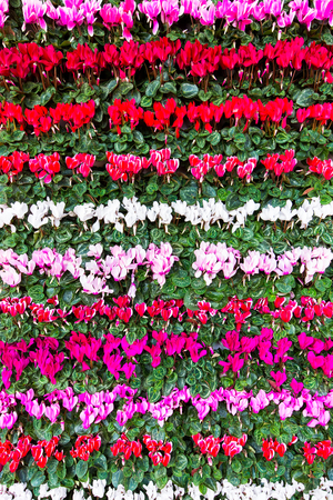 Blooming colorful flowers Cyclamen in rows