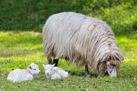Mother sheep with two white lambs lying in pasture