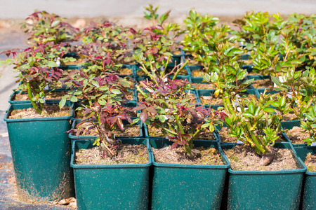 Rose plants in pots for sale at garden center